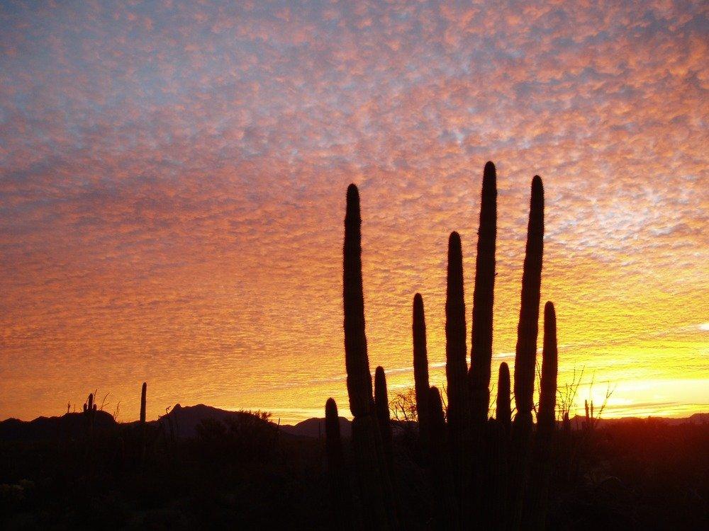 Organ Pipe cactus silhouette in sunset