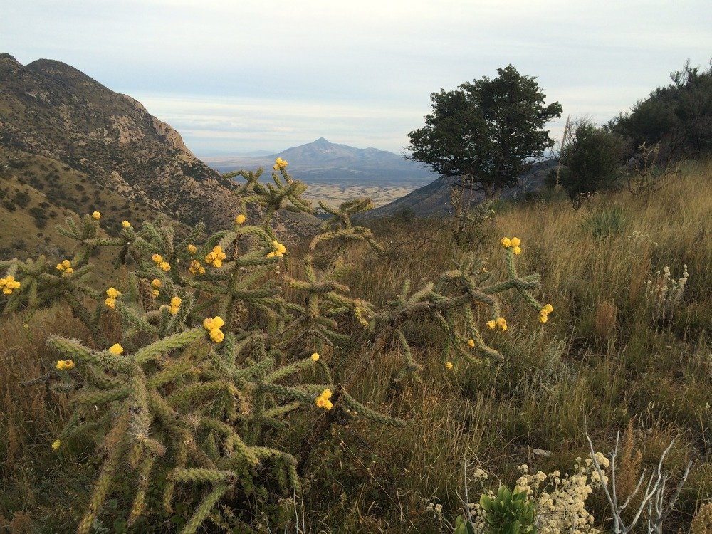 Cactus blooming with mountains in background