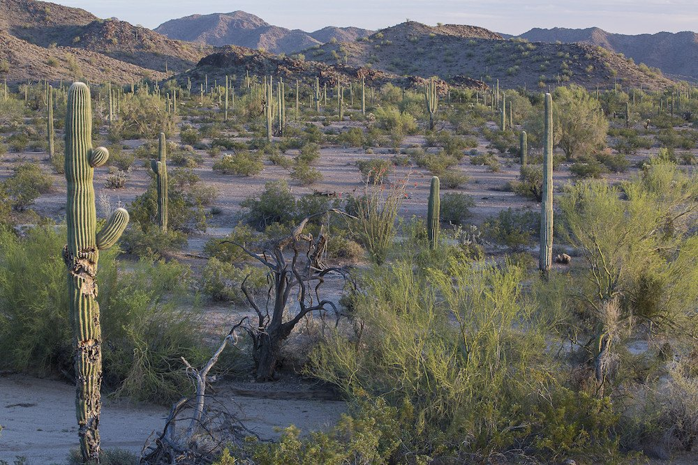 Sonoran Desert with saguaro cactus in foreground, mountains in background