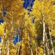 fall in Sedona-yellow aspen trees with blue sky background