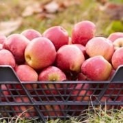 a crate full of freshly picked apples in a field